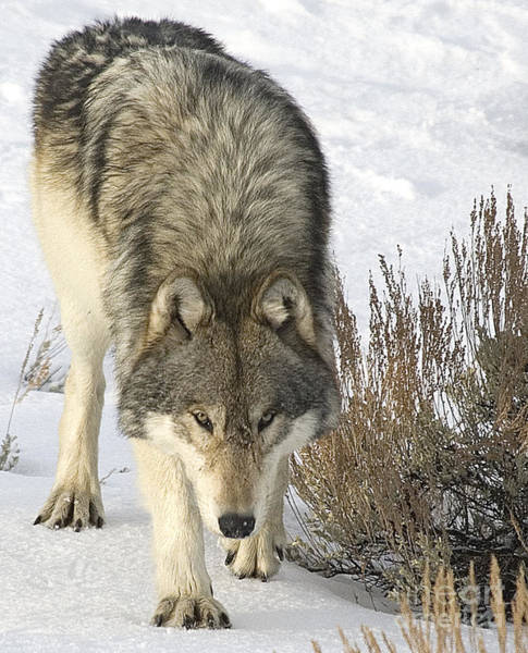 Photograph - Gray Wolf by Gary Beeler