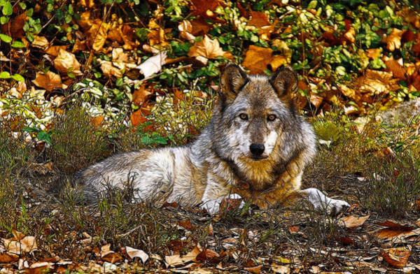 Wall Art - Photograph - Gray Wolf In Autumn by Sandy Keeton
