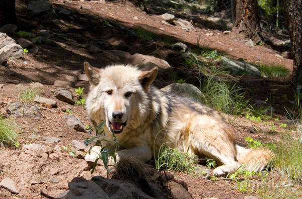 Photograph - Gray Wolf In The Summertime by Steve Krull