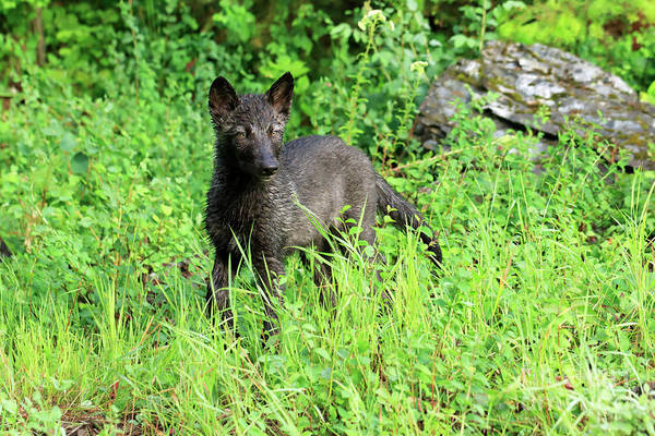 Timber Wolves Photograph - Gray Wolf Pup by Louise Heusinkveld