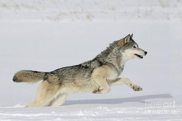 Timber Wolves Photograph - Gray Wolf Running by Jean-Louis Klein & Marie-Luce Hubert