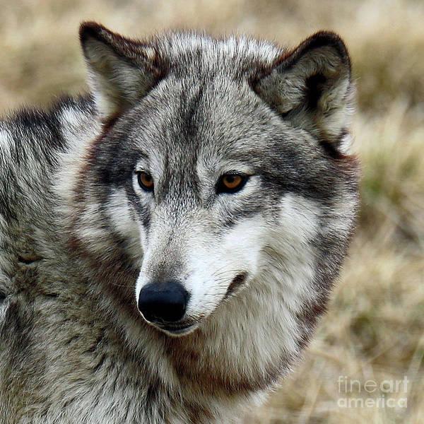 Wall Art - Photograph - Gray Wolf  by Steve Gass