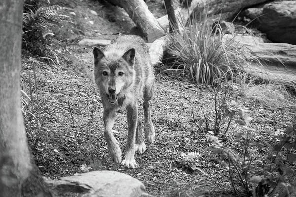 Photograph - Gray Wolf by SR Green