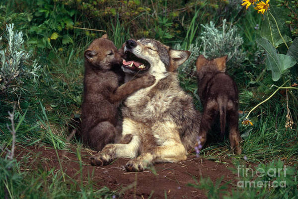 Timber Wolves Photograph - Gray Wolf With Pups At Den by Jeff Lepore