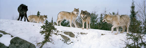 Timber Wolves Photograph - Gray Wolves Canis Lupus In A Forest by Panoramic Images