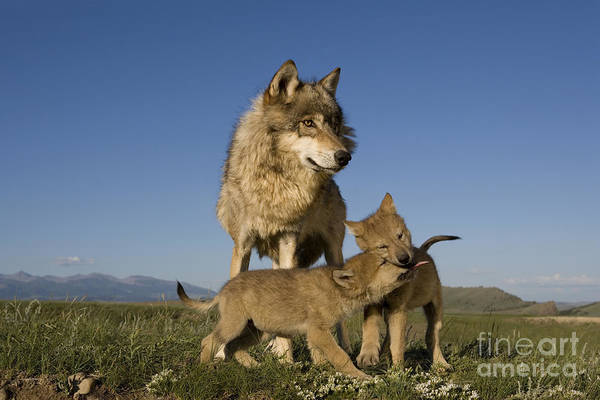 Timber Wolves Photograph - Gray Wolves Playing by Jean-Louis Klein & Marie-Luce Hubert