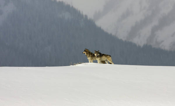 Photograph - Gray Wolves by Ronnie and Frances Howard