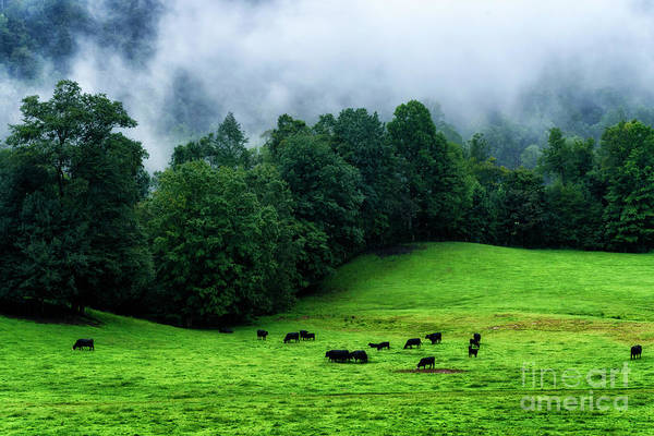 Photograph - Grazing Angus And Summer Fog by Thomas R Fletcher