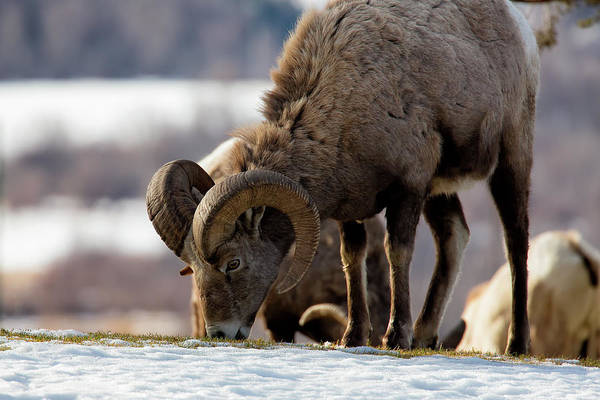 Photograph - Grazing Big Horn by David Buhler