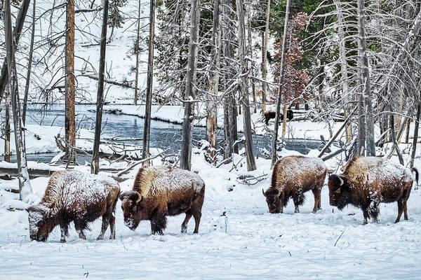Photograph - Grazing Bison - Yellowstone by Stuart Litoff
