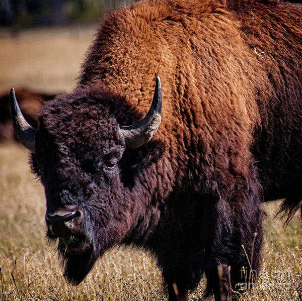 Photograph - Grazing Buffalo by Scott Kemper