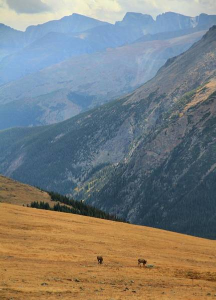Photograph - Grazing Elk On Trail Ridge Road by Dan Sproul
