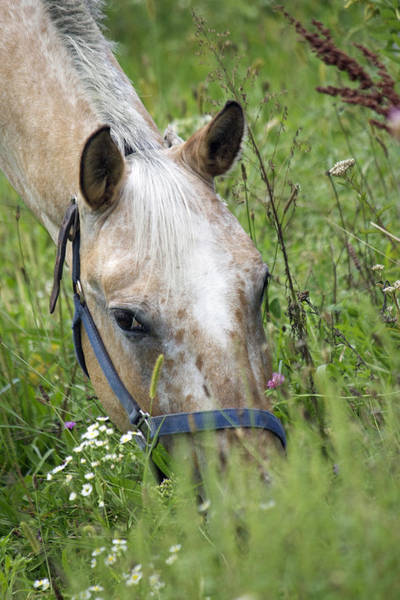 Wall Art - Photograph - Grazing Horse by Sue Feldberg