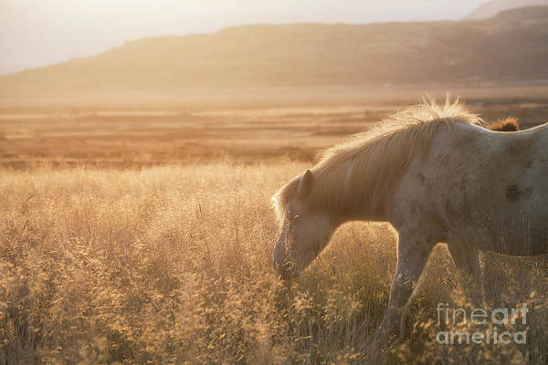 Photograph - Grazing Icelandic Horse by Michael Ver Sprill
