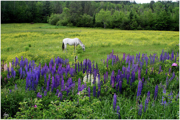 Photograph - Grazing In The Lupine by Wayne King