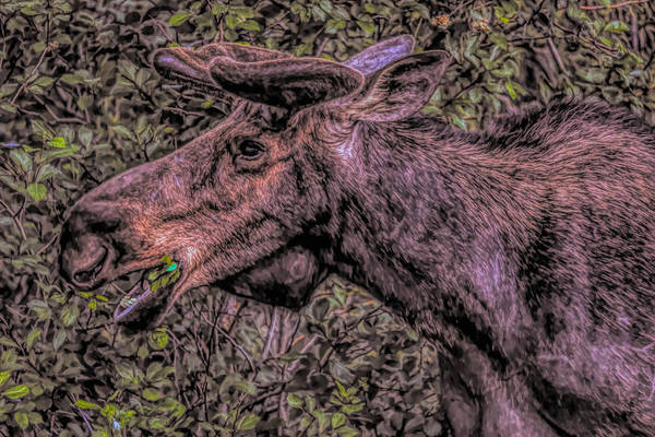 Painting - Grazing Moose by Dan Sproul