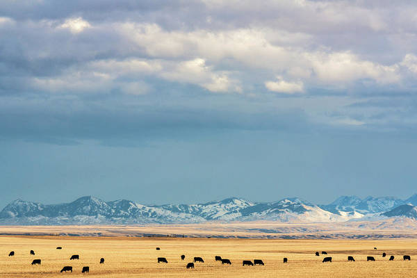 Livestock Photograph - Grazing Near Highwood by Todd Klassy