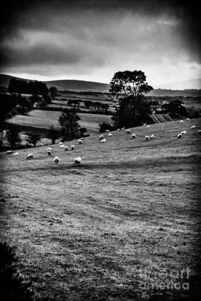Photograph - Grazing Sheep by Thomas R Fletcher