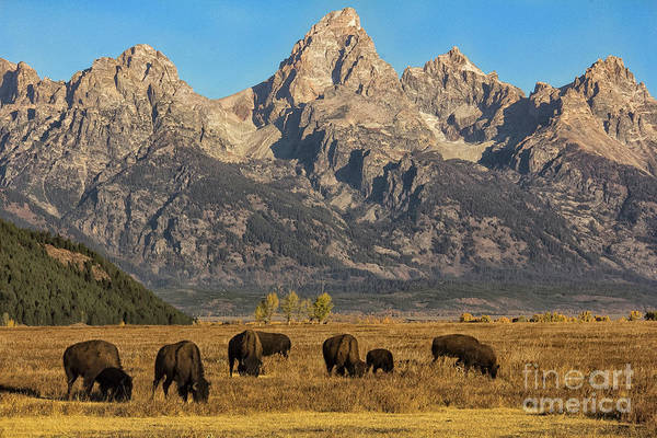 Grazing Under The Tetons Wildlife Art By Kaylyn Franks Art Print