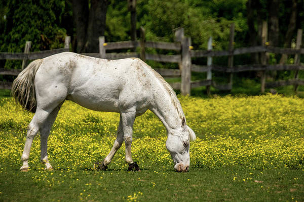 Photograph - Grazing White Horse by Ron Pate