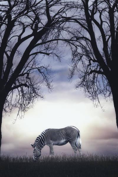 Paddock Wall Art - Photograph - Grazing Zebra by Joana Kruse