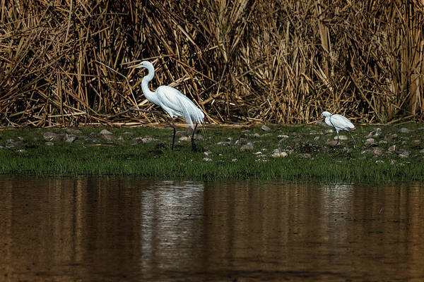 Photograph - Great And Snowy Egrets, No. 1 by Belinda Greb