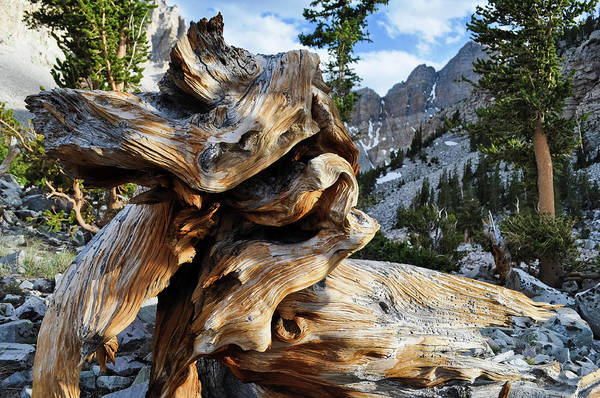 Photograph - Great Basin Ancient Bristlecone Pine by Kyle Hanson