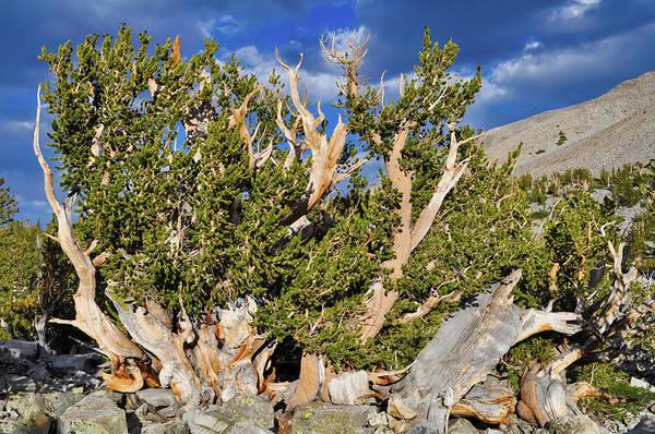 Photograph - Great Basin Bristlecone Pine Landscape by Kyle Hanson