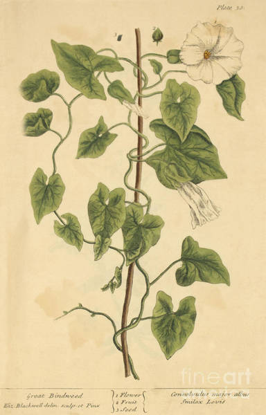 Rutland Photograph - Great Bindweed, Medicinal Plant, 1737 by Science Source