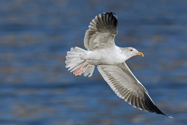 Photograph - Great Black-backed Gull by Arterra Picture Library