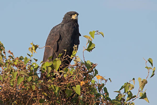 Photograph - Great Black Hawk by Aivar Mikko