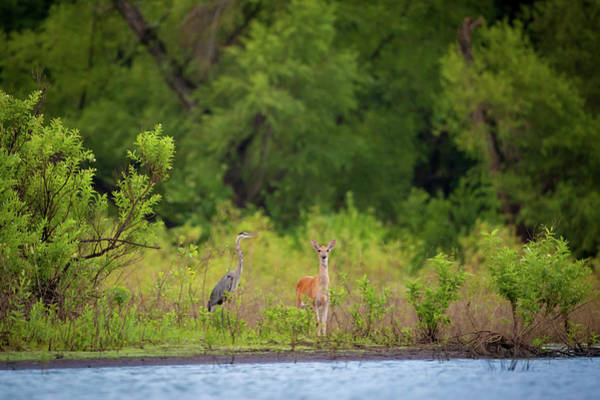 Photograph - Great Blue And The Whitetail by Jeff Phillippi