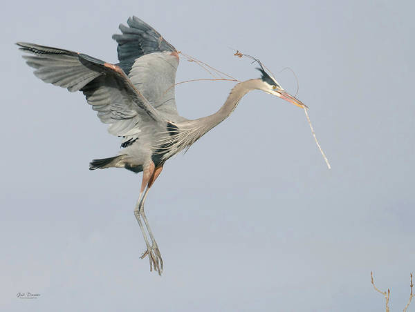 Photograph - Great Blue Bringing Nesting Materials  by Judi Dressler