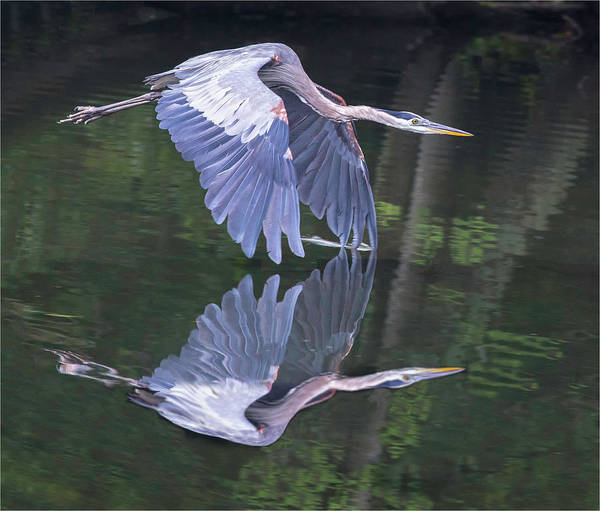 Photograph - Great Blue Heron 01 by Jim Dollar