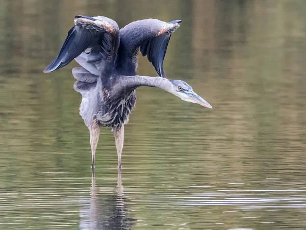Photograph - Great Blue Heron 0311-120517-1cr by Tam Ryan