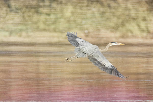Photograph - Great Blue Heron #1 - Search by Patti Deters