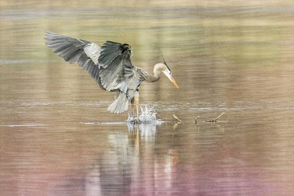 Photograph - Great Blue Heron #2 - Pounce by Patti Deters