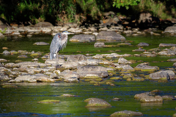 Photograph - Great Blue Heron 2016 by Bill Wakeley