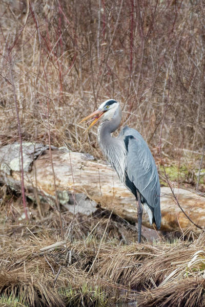 Photograph - Great Blue Heron 2018 by Bill Wakeley