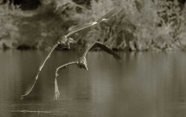 Photograph - Great Blue Heron 2146-073118-2cr-e by Tam Ryan