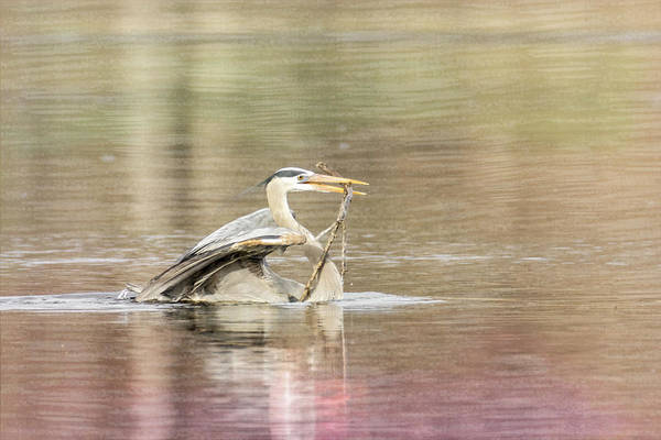 Photograph - Great Blue Heron #3 - Stick by Patti Deters