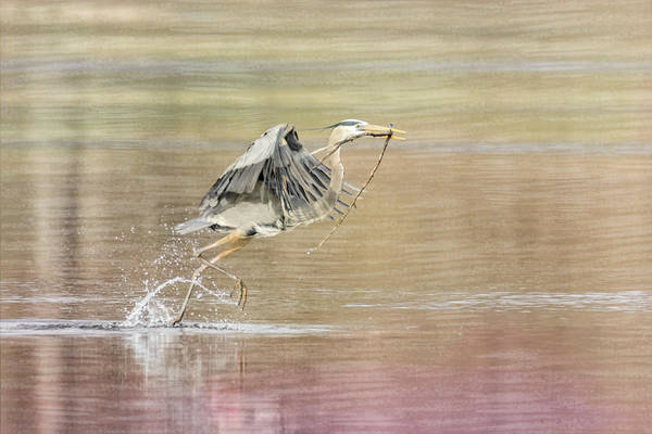 Photograph - Great Blue Heron #4 - Run by Patti Deters