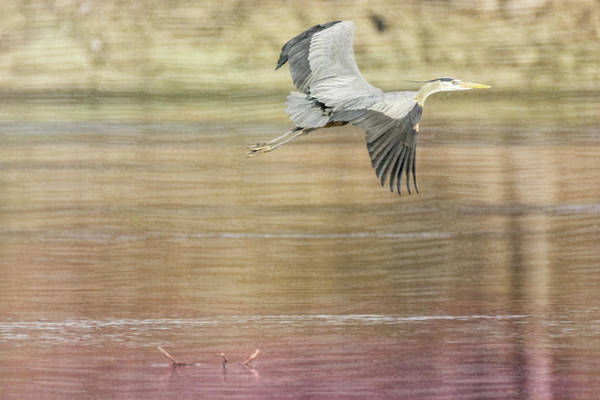 Photograph - Great Blue Heron #5 - No Stick by Patti Deters