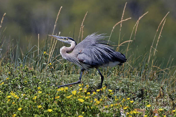 Photograph - Great Blue Heron Among Yellow Flowers by Sue Harper