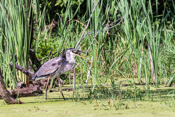 Photograph - Great Blue Heron And Blue Gill by Edward Peterson