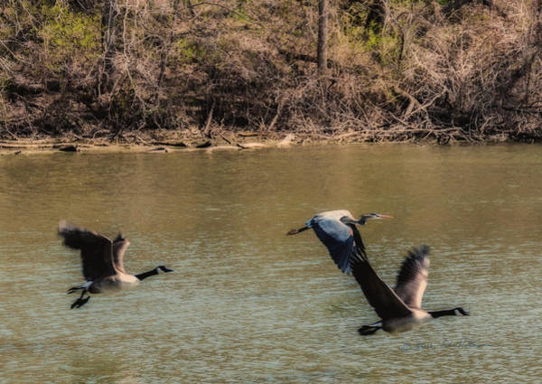 Photograph - Great Blue Heron And Canada Geese In Flight by Edward Peterson