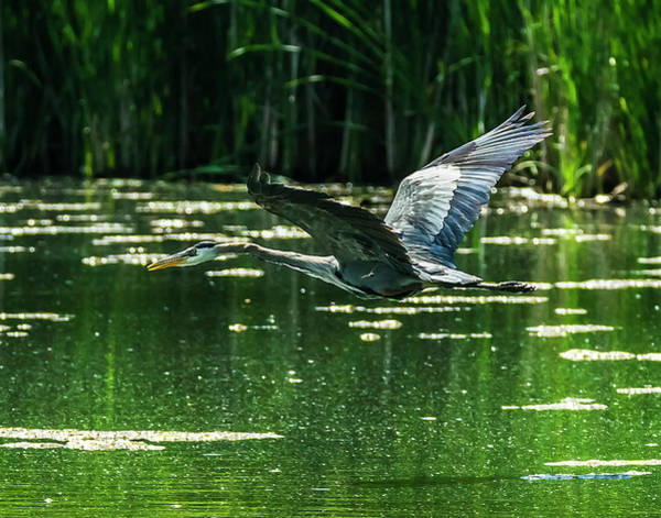 Photograph - Great Blue Heron And Dragon Fly 2 by Edward Peterson