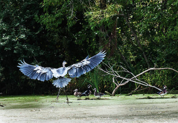Photograph - Great Blue Heron And Wood Ducks by Edward Peterson