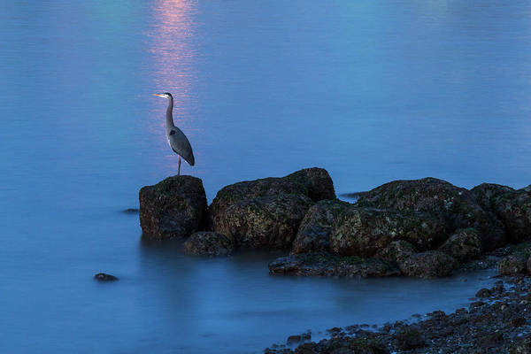 Metro Vancouver Wall Art - Photograph - Great Blue Heron At English Bay by Michael Russell