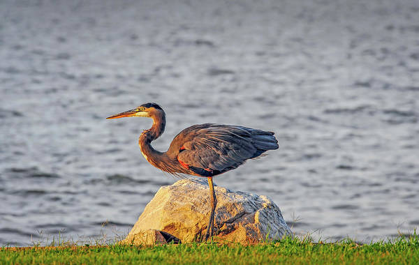 Photograph - Great Blue Heron At Sunset by Patrick Wolf